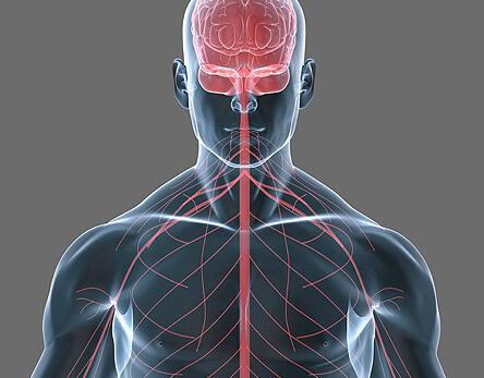 Das Zentrale Nervensystem - Anatomie des Rückens - BALANCE Glossar